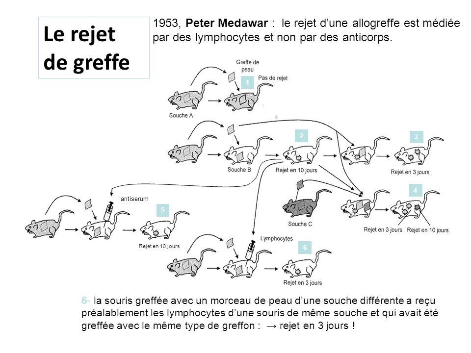 1953, Peter Medawar : le rejet dune allogreffe est médiée par des lymphocytes et non par des anticorps. antiserum Rejet en 10 jours Le rejet de greffe