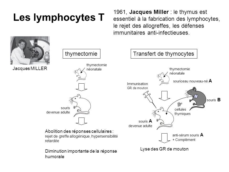 souriceau nouveau-né A souris A devenue adulte souris B cellules thymiques Lyse des GR de mouton souris devenue adulte Abolition des réponses cellulai