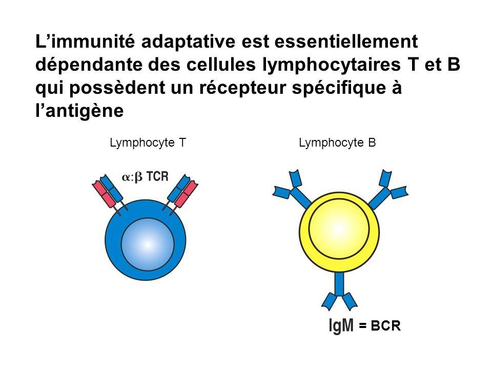 Lymphocyte BLymphocyte T Limmunité adaptative est essentiellement dépendante des cellules lymphocytaires T et B qui possèdent un récepteur spécifique