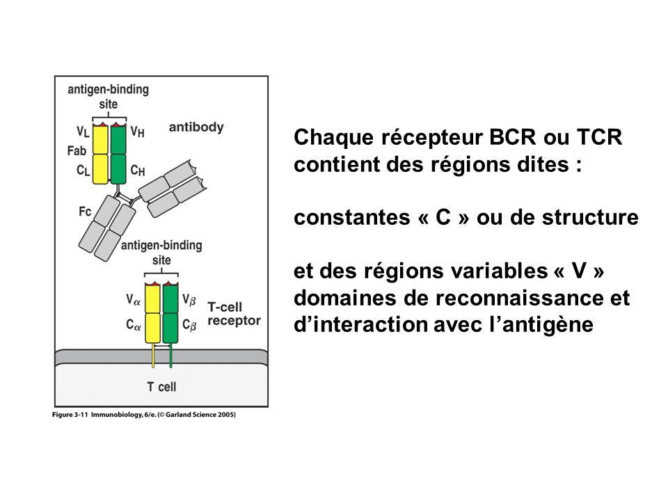 Chaque récepteur BCR ou TCR contient des régions dites : constantes « C » ou de structure et des régions variables « V » domaines de reconnaissance et