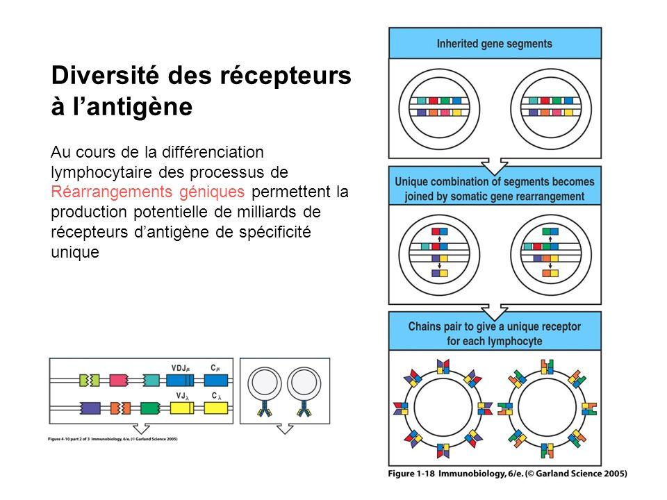 Diversité des récepteurs à lantigène Au cours de la différenciation lymphocytaire des processus de Réarrangements géniques permettent la production po