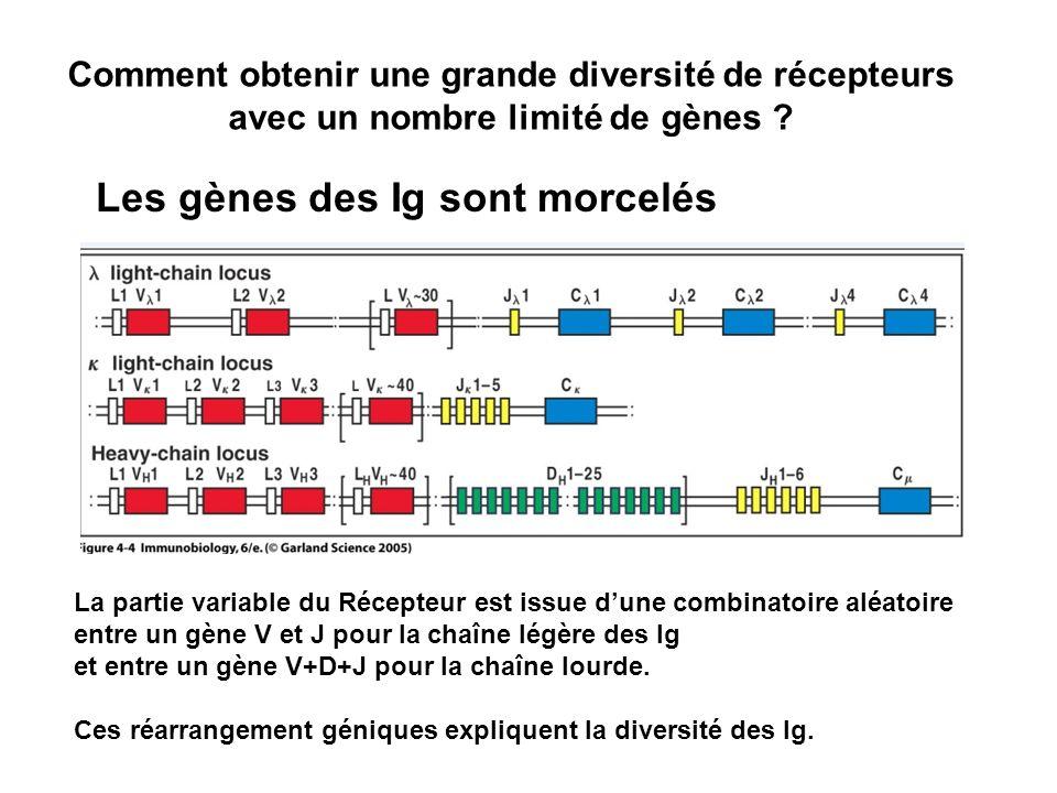 Comment obtenir une grande diversité de récepteurs avec un nombre limité de gènes ? Les gènes des Ig sont morcelés La partie variable du Récepteur est