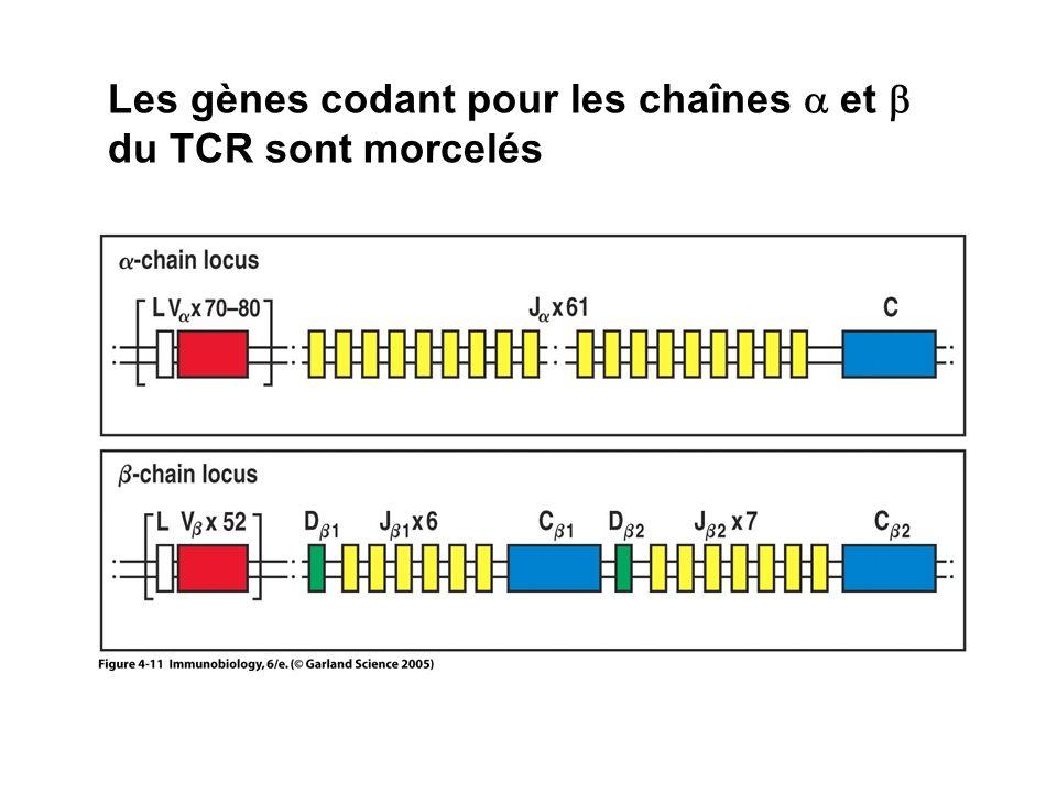Les gènes codant pour les chaînes et du TCR sont morcelés