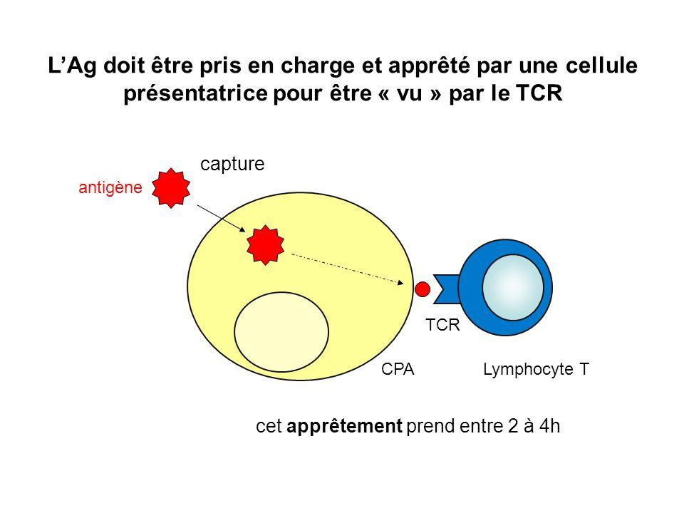 cet apprêtement prend entre 2 à 4h LAg doit être pris en charge et apprêté par une cellule présentatrice pour être « vu » par le TCR Lymphocyte T TCR