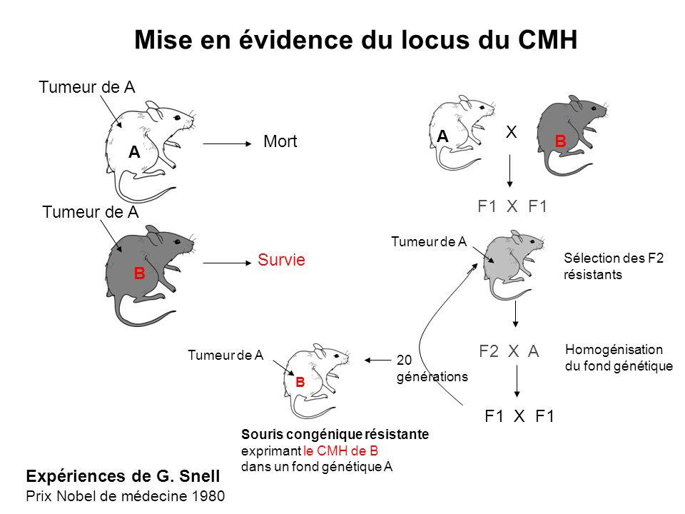 A B Tumeur de A Mort Survie Mise en évidence du locus du CMH X F1 X F1 F2 X A A B Tumeur de A Sélection des F2 résistants Homogénisation du fond génét