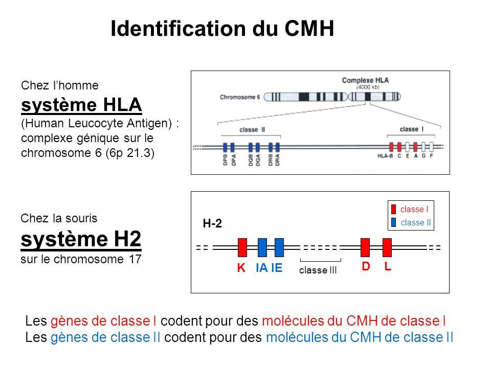 Chez lhomme système HLA (Human Leucocyte Antigen) : complexe génique sur le chromosome 6 (6p 21.3) H-2 Les gènes de classe I codent pour des molécules