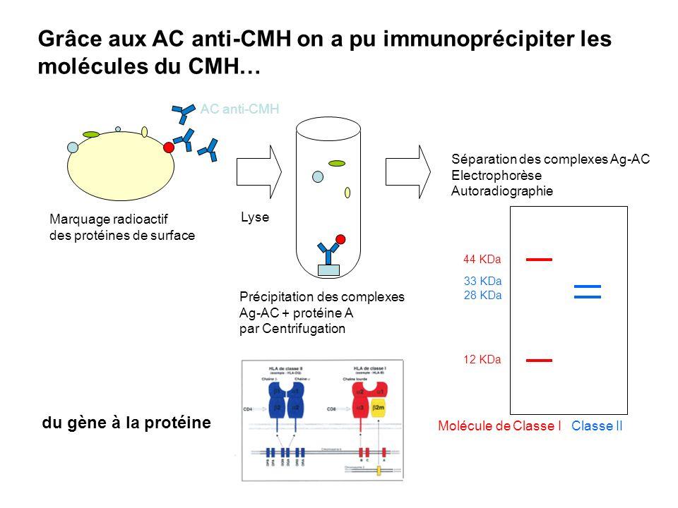 Grâce aux AC anti-CMH on a pu immunoprécipiter les molécules du CMH… Marquage radioactif des protéines de surface AC anti-CMH Lyse Précipitation des c