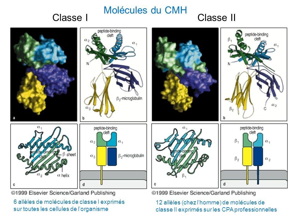 Molécules du CMH Classe IClasse II 6 allèles de molécules de classe I exprimés sur toutes les cellules de lorganisme 12 allèles (chez lhomme) de moléc