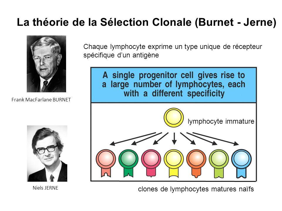 La théorie de la Sélection Clonale (Burnet - Jerne) Chaque lymphocyte exprime un type unique de récepteur spécifique dun antigène clones de lymphocyte