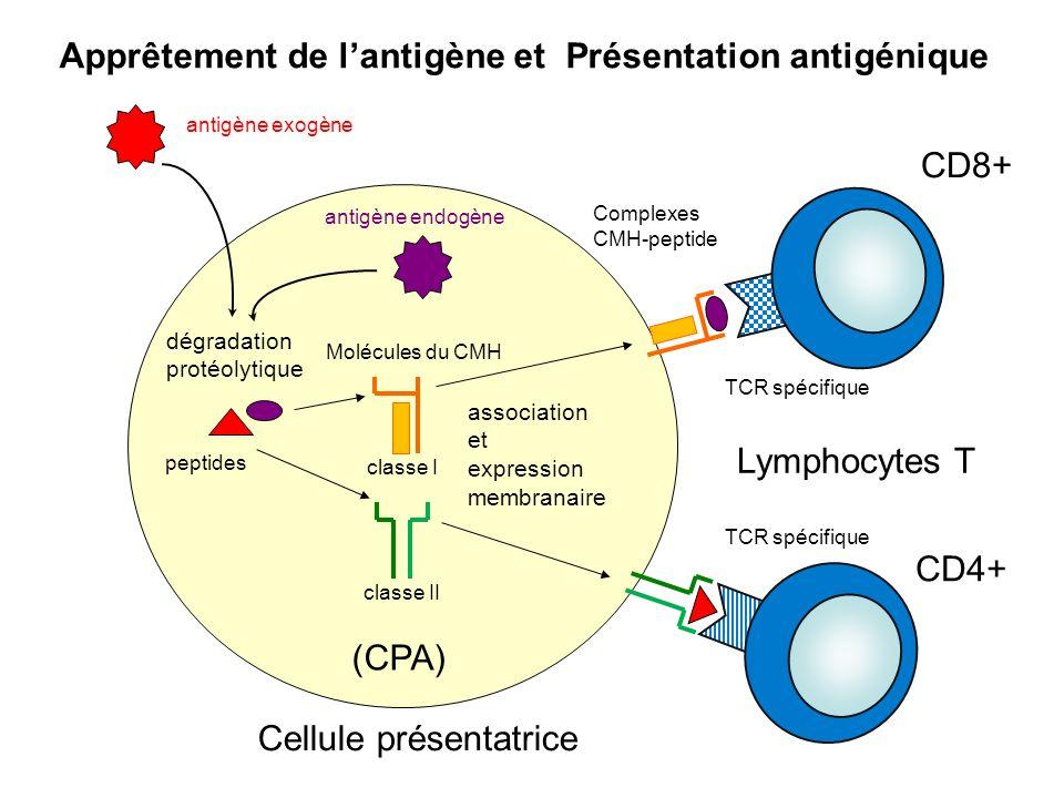 dégradation protéolytique peptides Molécules du CMH association et expression membranaire Complexes CMH-peptide antigène exogène antigène endogène Cel