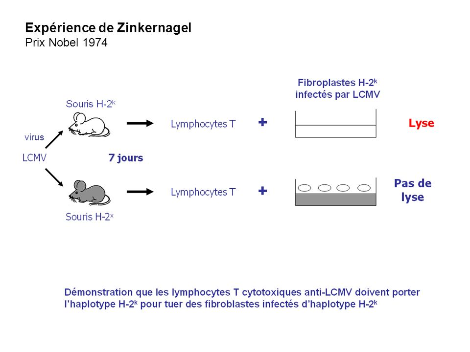 virus Expérience de Zinkernagel Prix Nobel 1974