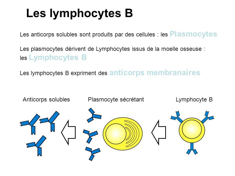 Lymphocyte BPlasmocyte sécrétantAnticorps solubles Les anticorps solubles sont produits par des cellules : les Plasmocytes Les plasmocytes dérivent de