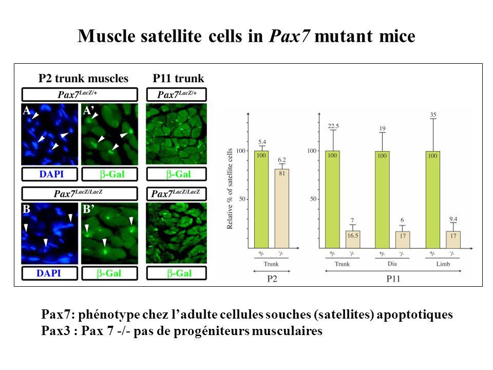 Muscle satellite cells in Pax7 mutant mice Pax7: phénotype chez ladulte cellules souches (satellites) apoptotiques Pax3 : Pax 7 -/- pas de progéniteur