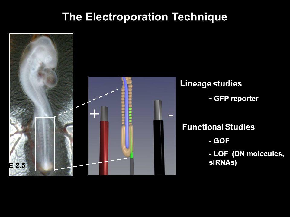 E 2.5 The Electroporation Technique +- Lineage studies - GFP reporter Functional Studies - GOF - LOF (DN molecules, siRNAs)