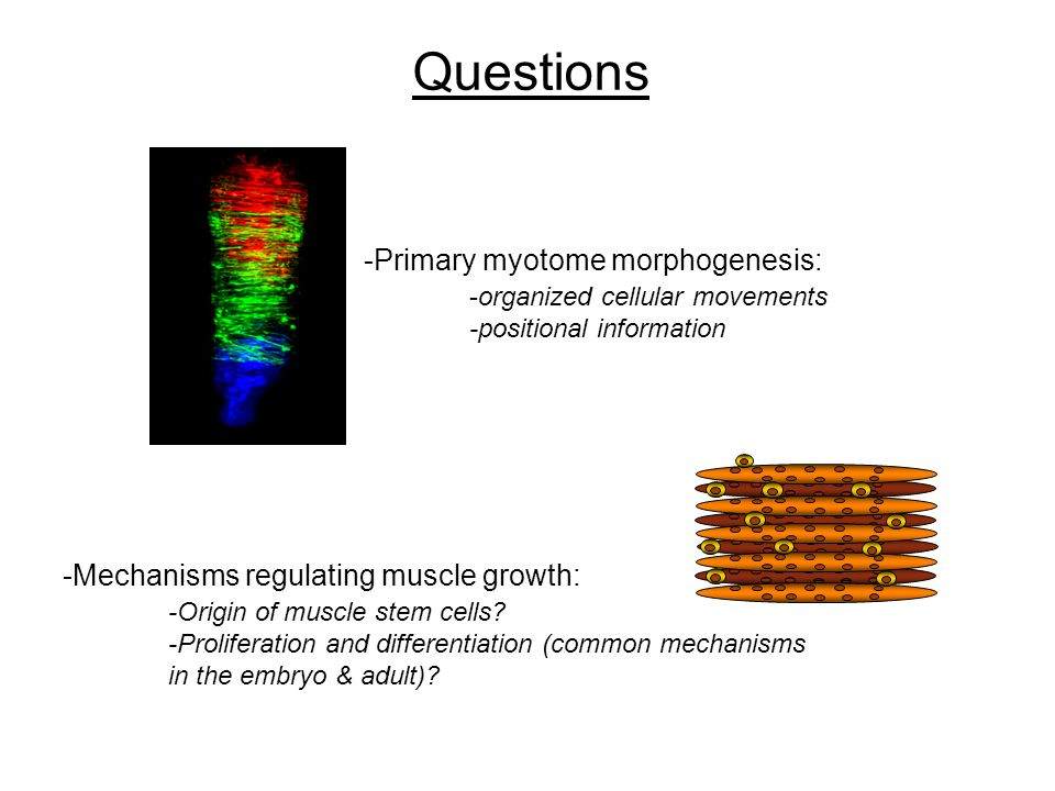 Questions -Mechanisms regulating muscle growth: -Origin of muscle stem cells? -Proliferation and differentiation (common mechanisms in the embryo & ad