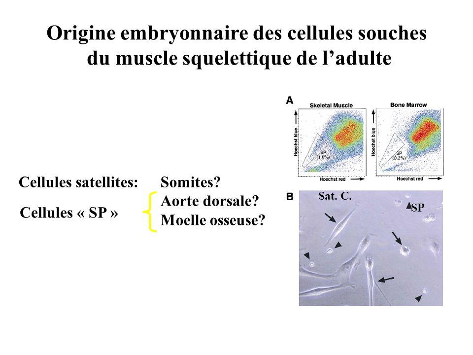 Origine embryonnaire des cellules souches du muscle squelettique de ladulte Cellules satellites: Somites? Aorte dorsale? Moelle osseuse? Cellules « SP
