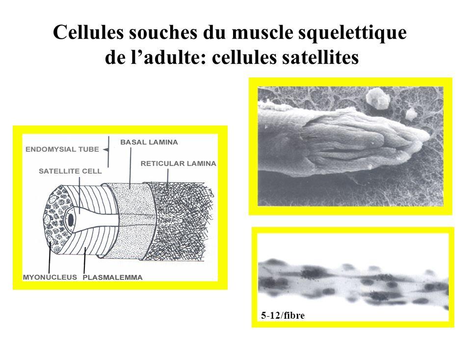 Cellules souches du muscle squelettique de ladulte: cellules satellites 5-12/fibre
