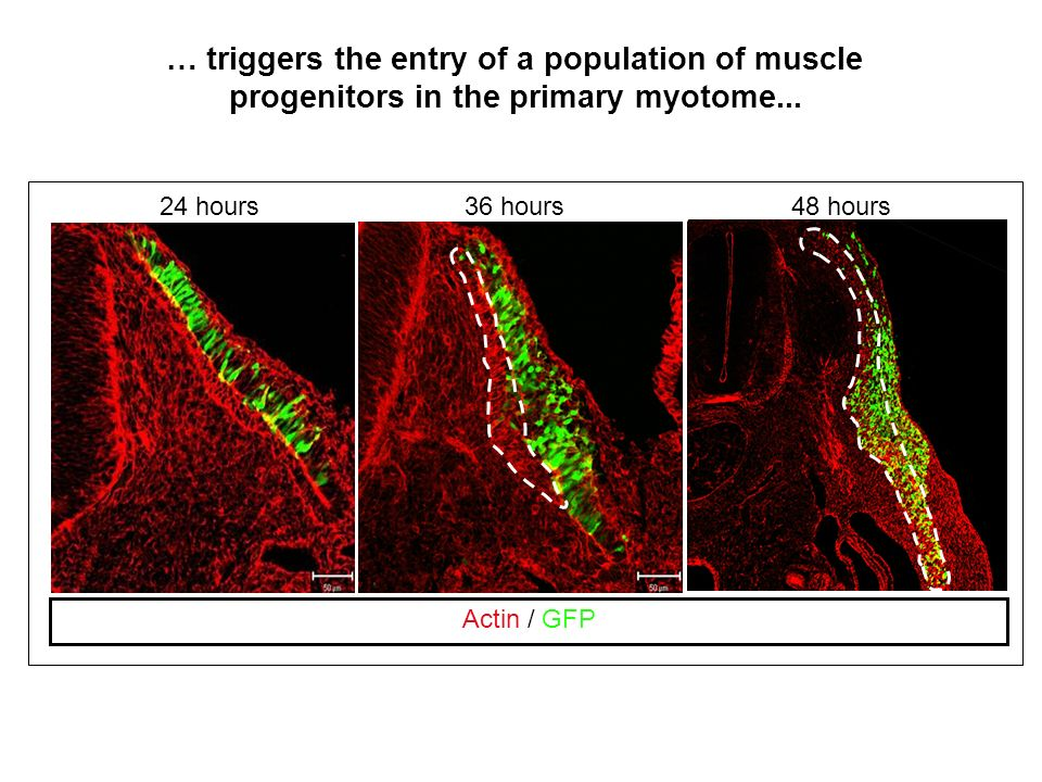 Actin / GFP 24 hours36 hours48 hours … triggers the entry of a population of muscle progenitors in the primary myotome...