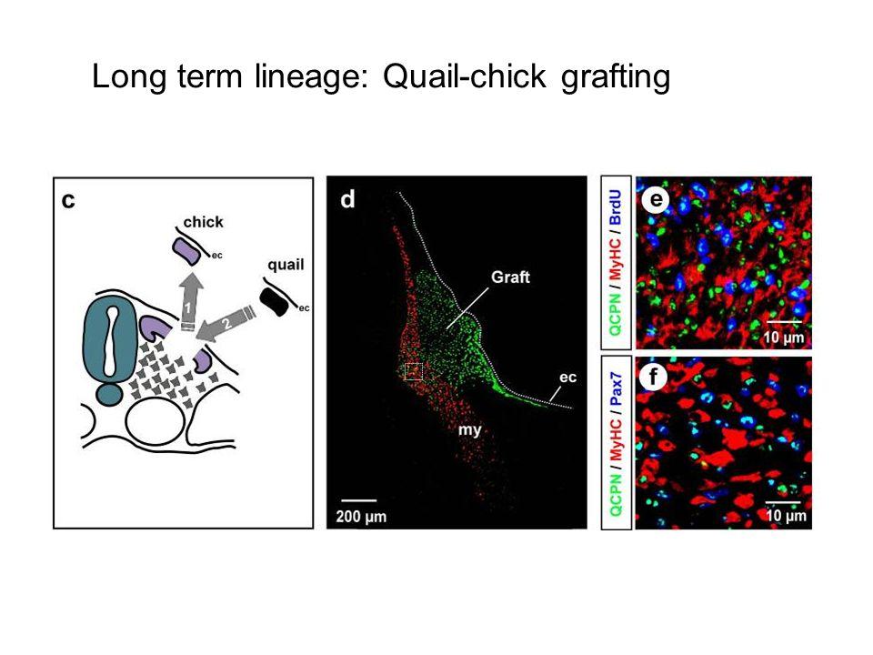 Long term lineage: Quail-chick grafting