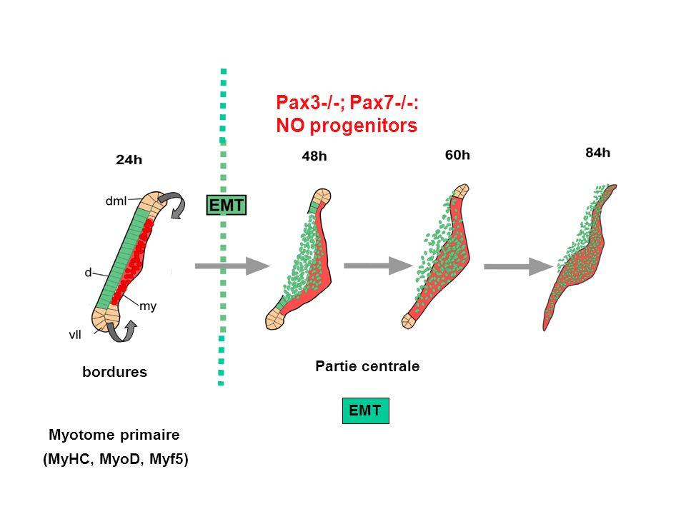 Myotome primaire bordures (MyHC, MyoD, Myf5) Partie centrale EMT Pax3-/-; Pax7-/-: NO progenitors