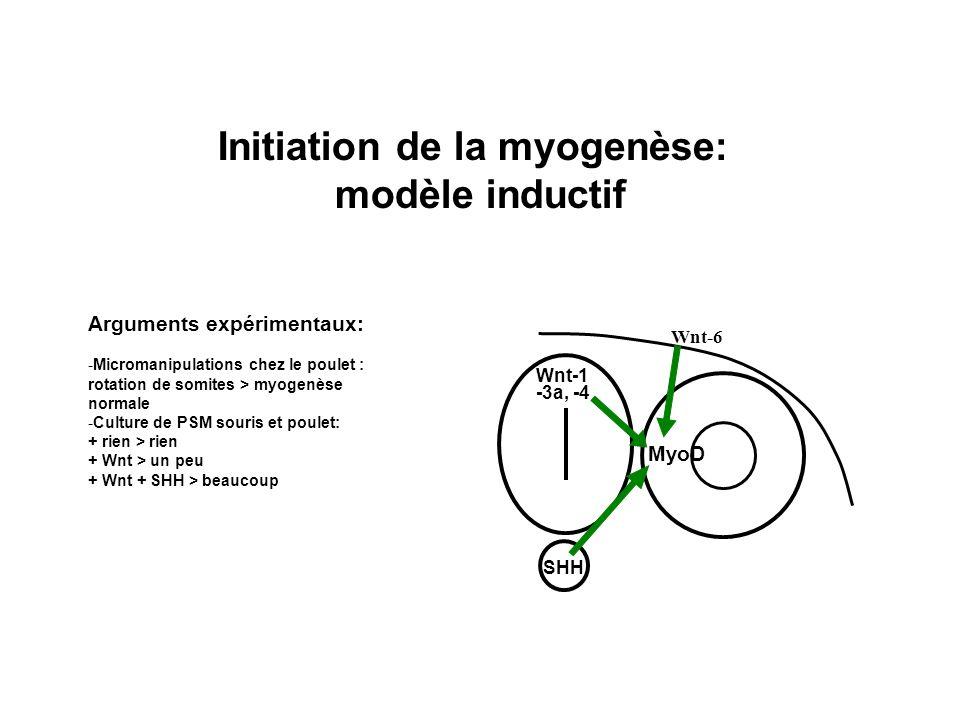 Initiation de la myogenèse: modèle inductif MyoD Wnt-1 -3a, -4 SHH Wnt-6 Arguments expérimentaux: -Micromanipulations chez le poulet : rotation de som