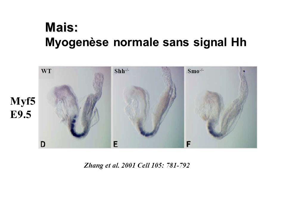 Mais: Myogenèse normale sans signal Hh WTShh -/- Smo -/- Myf5 E9.5 Zhang et al. 2001 Cell 105: 781-792