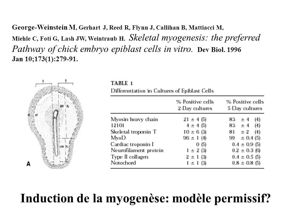 Les gènes de détermination myogénique Famille des bHLH Myogenic determination MyoD Myf5 Muscle differentiation Myogenin MRF4 Tous ont la capacité dinduire la myogenèse de cellules non myogéniques (gènes « maîtres ») MyoD -/- et Myf5 -/- sont viables et fertiles MyoD:Myf5 -/- létal, pas de muscle Myogenin -/- et MRF4 -/- possèdent des myoblastes Myf5 ou MyoD-positifs, mais la différenciation ultérieure est arrêtée.