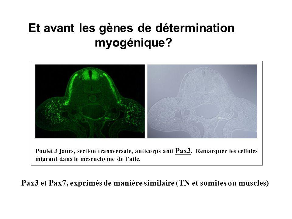 Et avant les gènes de détermination myogénique? Poulet 3 jours, section transversale, anticorps anti Pax3. Remarquer les cellules migrant dans le mése