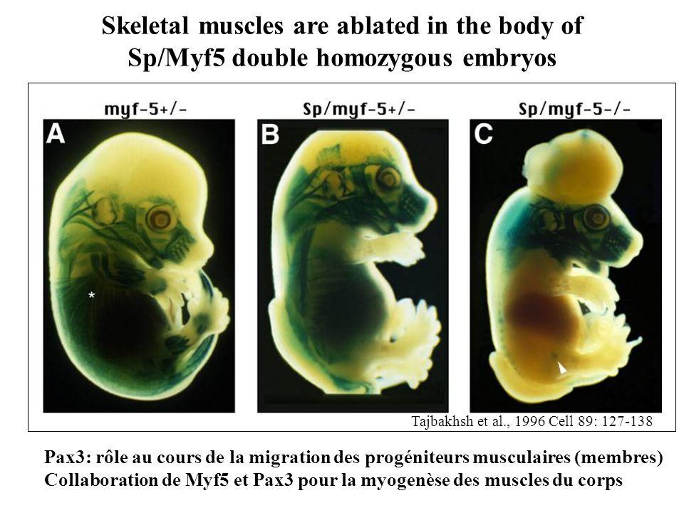 Skeletal muscles are ablated in the body of Sp/Myf5 double homozygous embryos Tajbakhsh et al., 1996 Cell 89: 127-138 Pax3: rôle au cours de la migrat