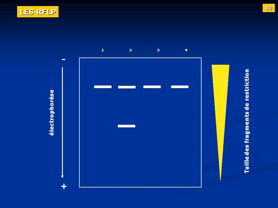 12341234 électrophorèse + - Taille des fragments de restriction 10 LES RFLP