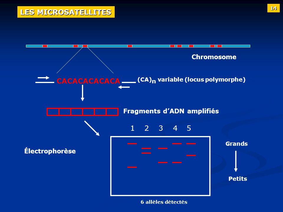 Chromosome (CA) n variable (locus polymorphe) Fragments dADN amplifiés Électrophorèse Grands Petits 12345 CACACACACACA 6 allèles détectés 14 LES MICRO