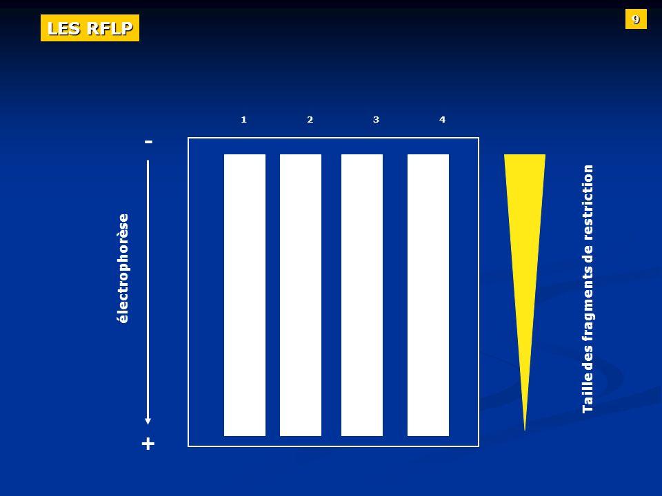 12341234 électrophorèse Taille des fragments de restriction + - 9 LES RFLP