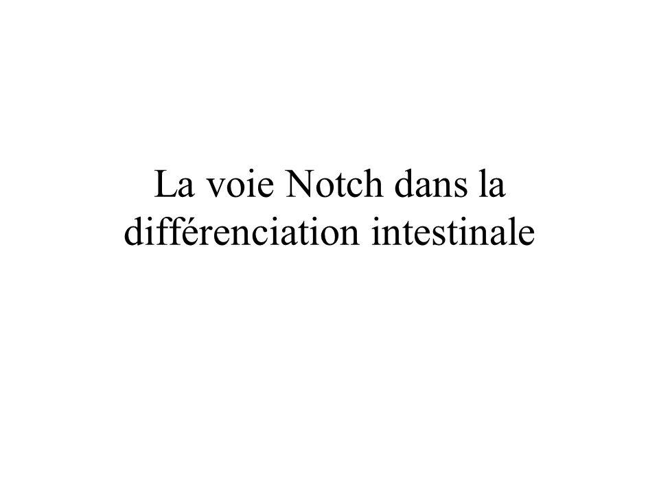 Signalisation Notch Notch: molécule transmembranaire 4 récepteurs (notch 1, …) et 5 ligands (delta 1-3 -4 ou jagged 1-2) Lorsque notch interagit avec son ligand): Clivage de la partie intracellulaire de notch (Notch IntraCellular Domain), translocation dans le noyau Activation de la transcription de gènes « interrupteur »