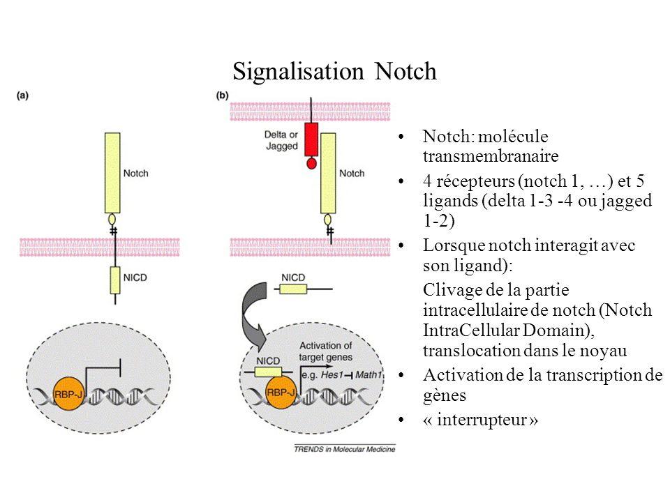 Notch et différenciation Notch est impliqué dans le devenir des cellules lors du développement Chez ladulte, permet le maintien de lhomeostasie Cibles de la signalisation Notch: Math-1, Hes-1, ngn3 qui sont impliqués dans la différenciation Surexpression de NICD (partie intracelllulaire de Notch) dans des souris transgéniques entraîne blocage de la différenciation des cellules sécrétrices.