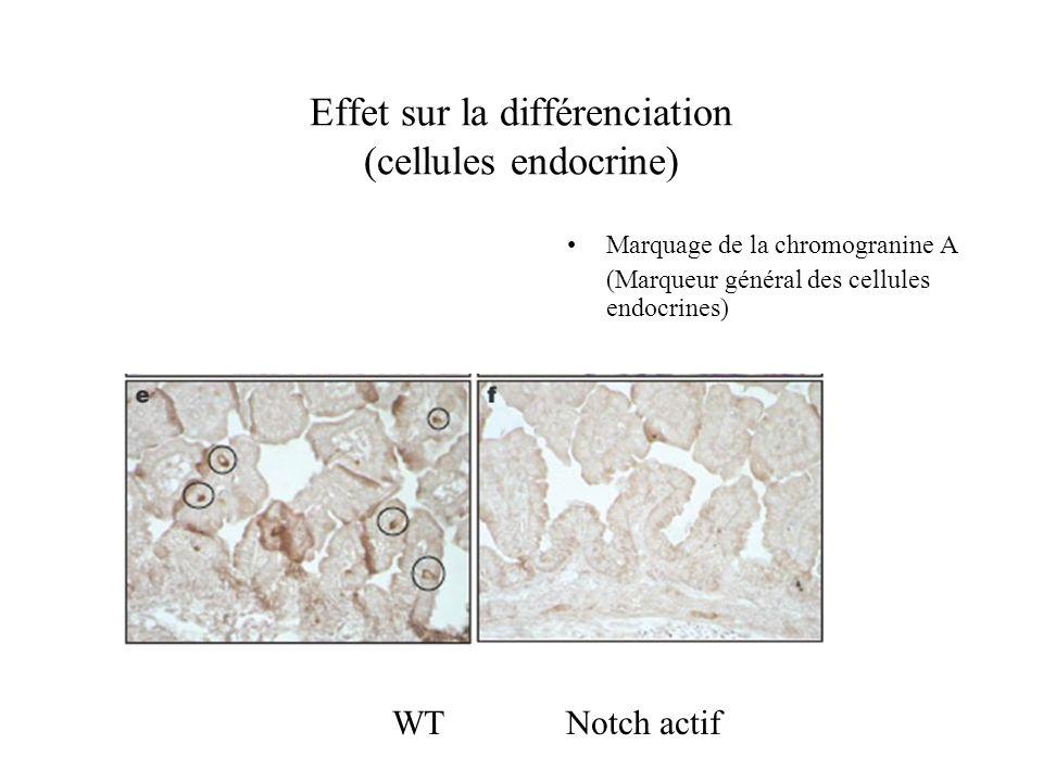 Notch et morphologie wt Notch Notch diminue le nombre de microvillosités au niveau du domaine apical