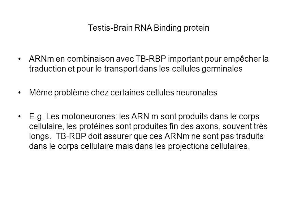 Un lien entre la transcription et le transport des ARNm Les transcrits des gènes qui montrent un décalage entre transcription-translation fixent la protéine TB-RBP La transcription de ces mêmes gènes dépend dun facteur de transcription appelé ACT ACT se trouve dans le cytoplasme et est transporté dans le noyau pour activer la transcription KIF17b: kinesin, testis-spécifique ( isoform de la kinesin neuronale KIF17, essentiel pour le transport des récepteurs des neurotransmetteurs) KIF17b est essentiel pour le transport de ACT dans le noyau KIF17b se trouve dans un complèxe avec les ARNm/TB-RBP associé avec les microtubles Donc KIF17b active lexpression des gènes et assure le transport des transcrits e.g.
