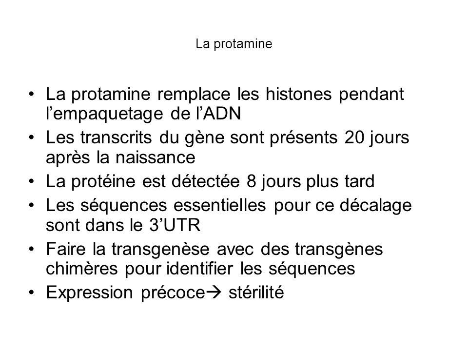 Décalage transcription/traduction Chromatographie daffinité pour trouver des protéines qui se fixent sur les 3UTR Protamine Binding Protein isolé.