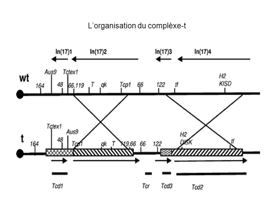Clonage de Tcp-1 et Tcp-11 Cell 14, 44-56 1986 Molecular cloning and sequence analysis of a haploid expressed gene encoding t complex polypeptide 1 Keith R.