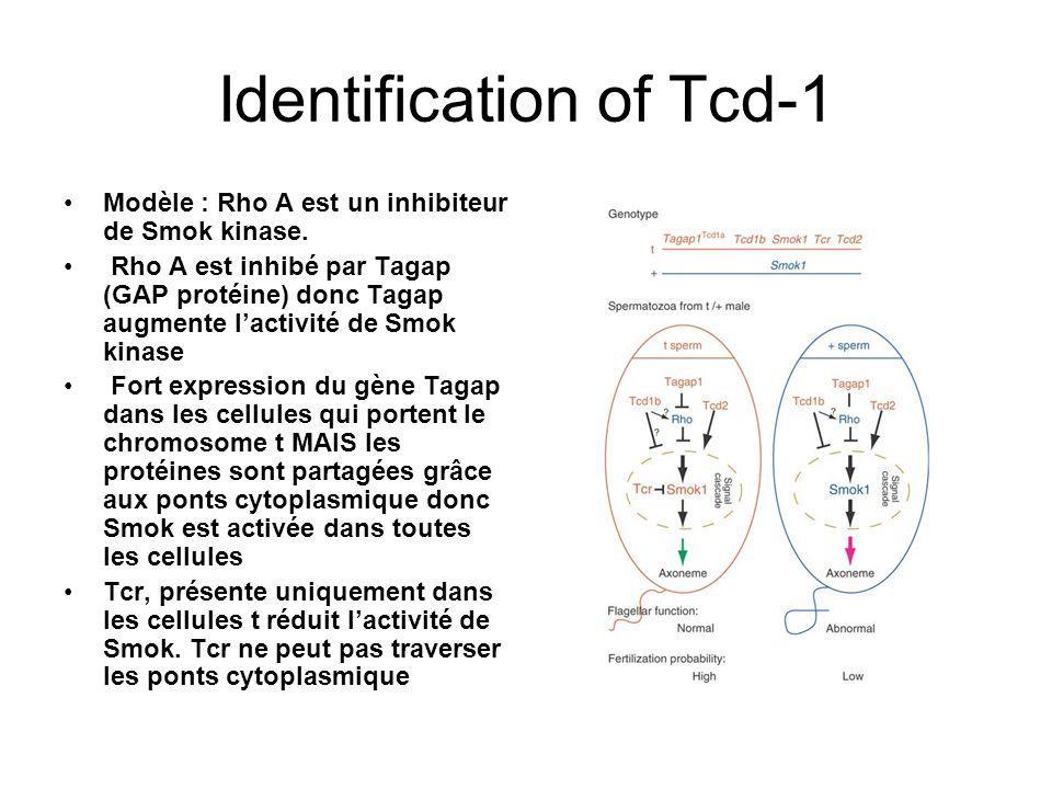 Distorter 2 Gènes candidats grâce aux haplotypes partiels Exprimé à partir de 7 jours dans les cellules germinales: expression moins forte plus tard Glycine dans la version t remplacé par serine dans la version sauvage ( serine souvent phosphorylé).