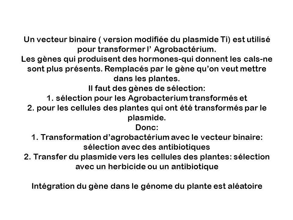 Un vecteur binaire ( version modifiée du plasmide Ti) est utilisé pour transformer l Agrobactérium. Les gènes qui produisent des hormones-qui donnent
