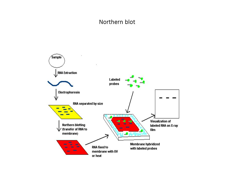 Northern blot