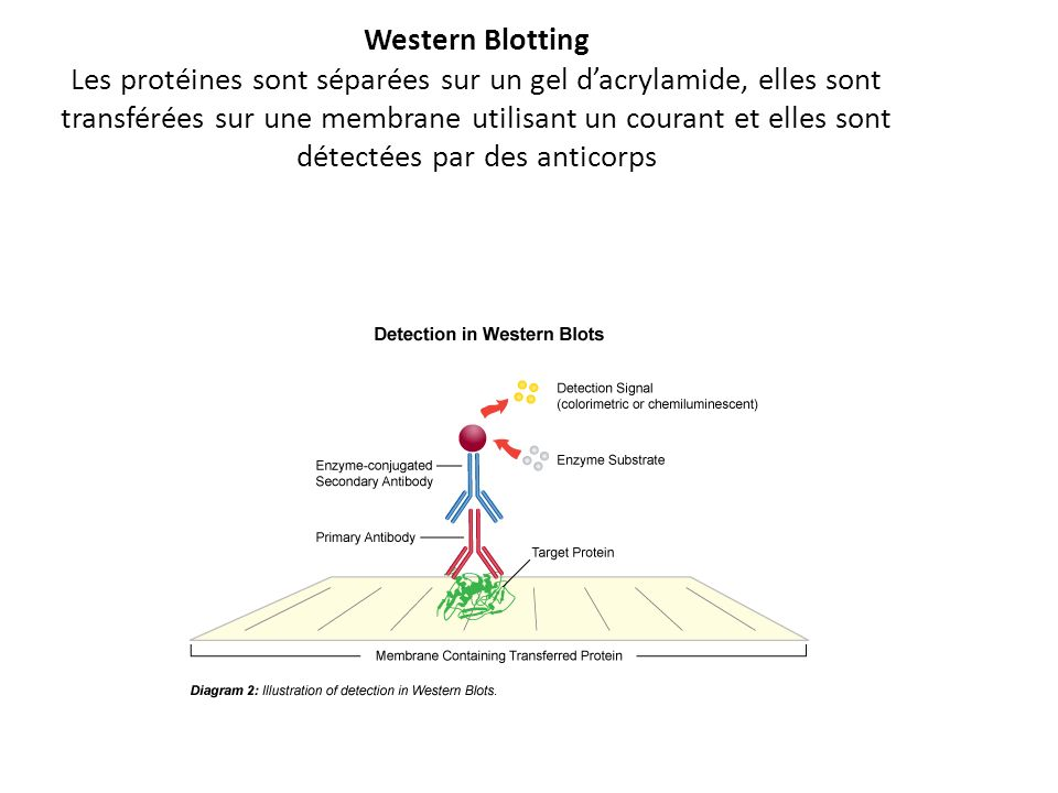 Western Blotting Les protéines sont séparées sur un gel dacrylamide, elles sont transférées sur une membrane utilisant un courant et elles sont détect