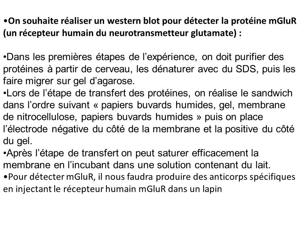 On souhaite réaliser un western blot pour détecter la protéine mGluR (un récepteur humain du neurotransmetteur glutamate) : Dans les premières étapes