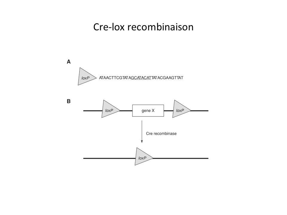 Le système cre-lox : 1.Est important pendant lépissage chez les eucaryotes 2.Est un système de recombinaison 3.Est utilisé toujours pour effacer les promoteurs des gènes 4.Peut être utilisé avec un promoteur inductible
