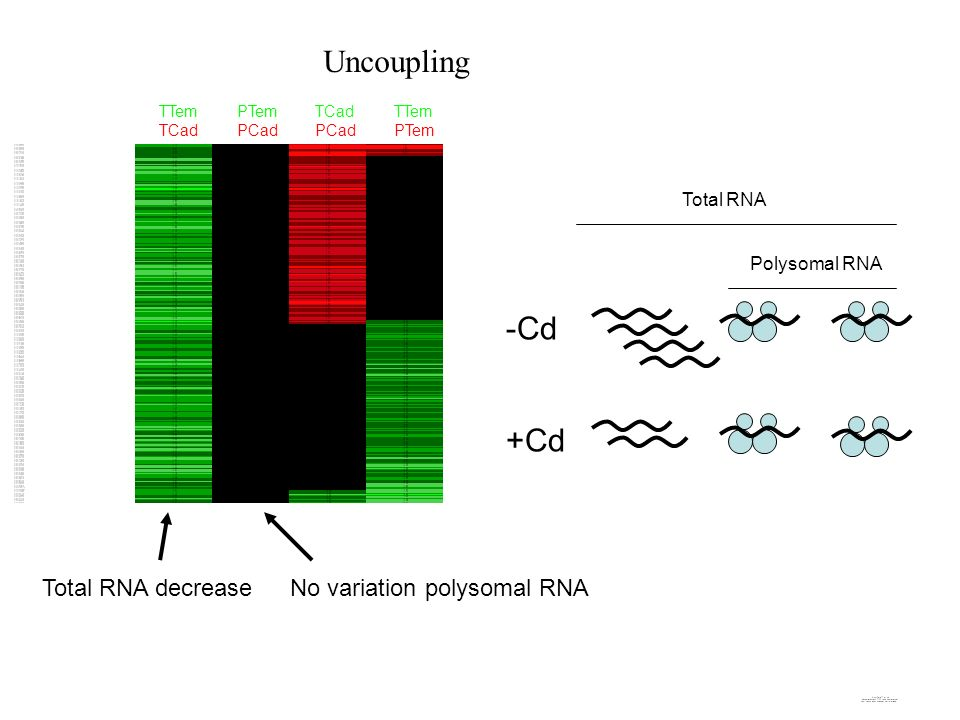 TTem TCad PTem PCad TCad PCad TTem PTem Uncoupling -Cd +Cd Total RNA Polysomal RNA Total RNA decreaseNo variation polysomal RNA