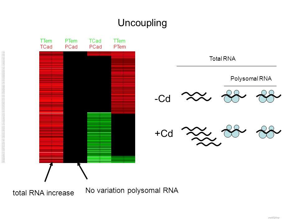 TTem TCad PTem PCad TCad PCad TTem PTem -Cd +Cd Total RNA Polysomal RNA total RNA increase No variation polysomal RNA Uncoupling