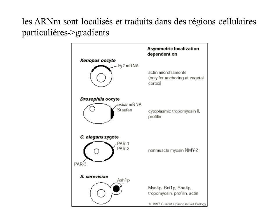 les ARNm sont localisés et traduits dans des régions cellulaires particuliéres->gradients