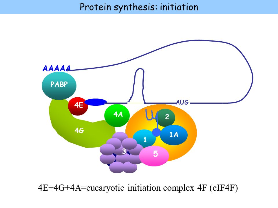 4E 4G 4A PABP 40S 2 1 1A 3 AAAAA 5 Protein synthesis: initiation AUG 4E+4G+4A=eucaryotic initiation complex 4F (eIF4F)