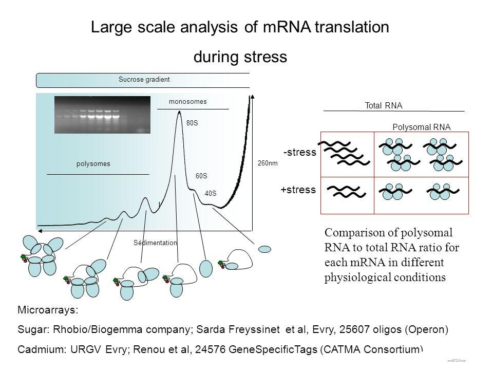 Sucrose gradient 40S 60S 80S polysomes monosomes Sédimentation 260nm Total RNA Polysomal RNA -stress +stress Large scale analysis of mRNA translation