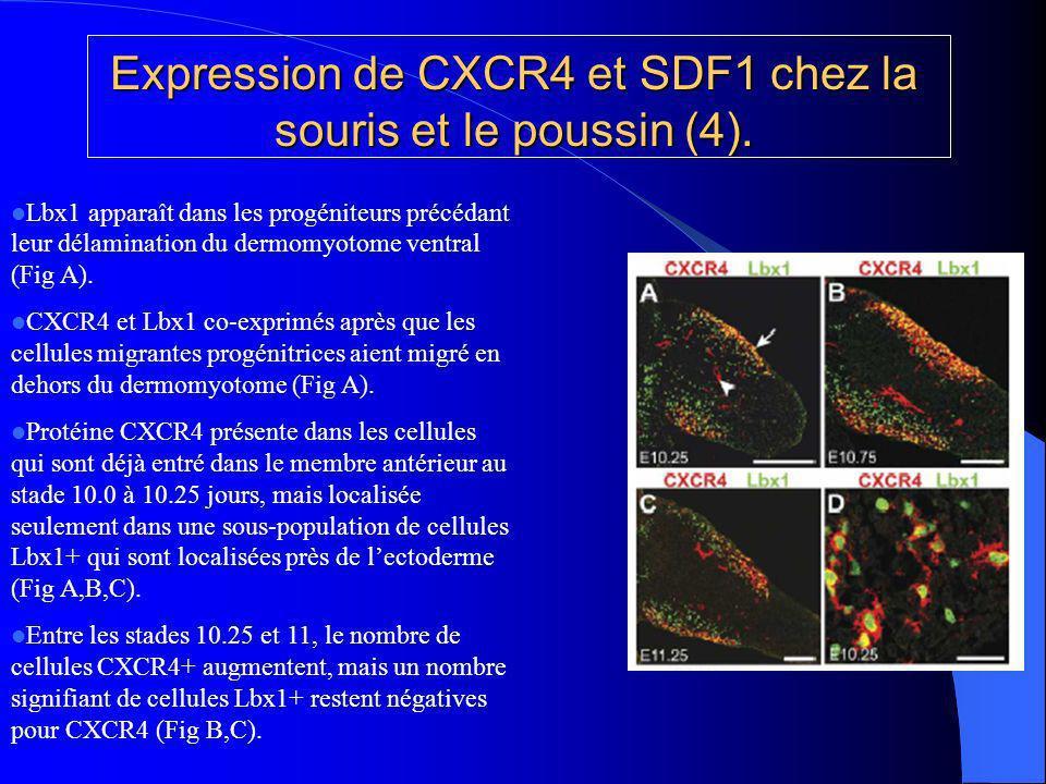 Expression de CXCR4 et SDF1 chez la souris et le poussin (5).
